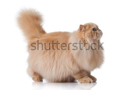 ペルシャ猫 孤立した 白 肖像 猫 オレンジ ストックフォト © EwaStudio