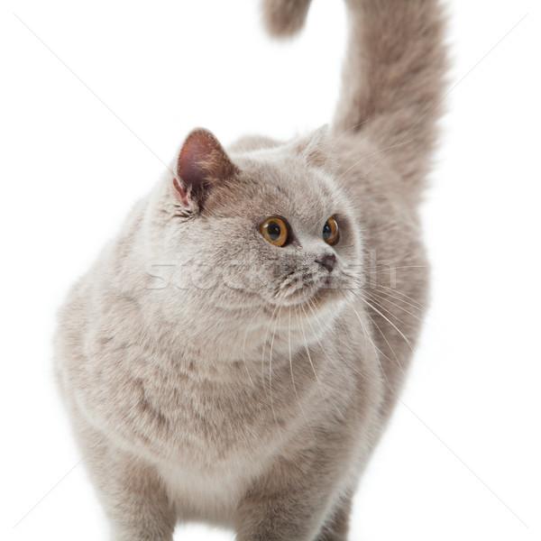 Сток-фото: британский · короткошерстная · кошки · белый · изолированный · природы