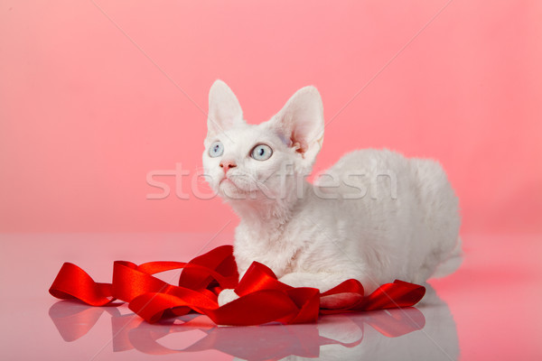 Devon rex on purple background  Stock photo © EwaStudio