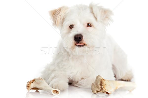 dog with bone isolated on white background  Stock photo © EwaStudio