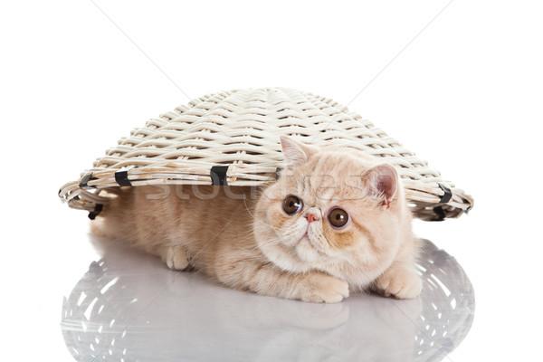 エキゾチック ショートヘア 猫 面白い 自然 ストックフォト © EwaStudio