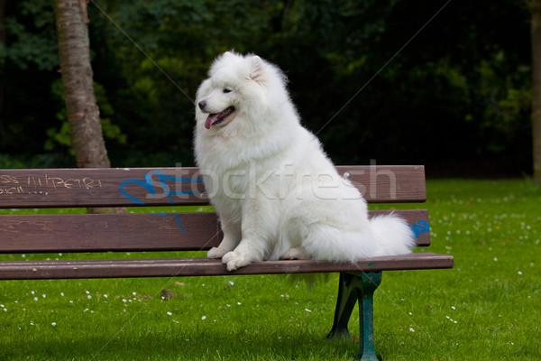 Samoyed dog  Stock photo © EwaStudio