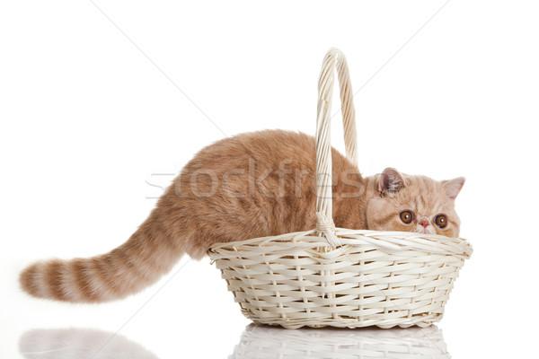 экзотический короткошерстная кошки прелестный котенка корзины Сток-фото © EwaStudio