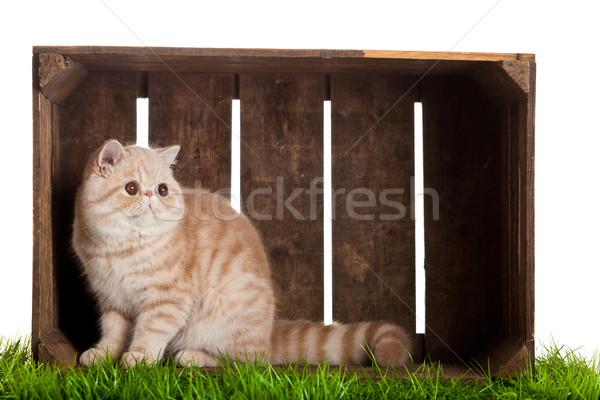 экзотический короткошерстная кошки красивой окна древесины Сток-фото © EwaStudio