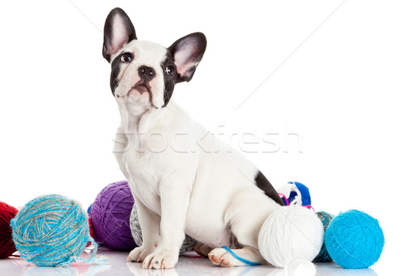 French Bulldog  puppy with a wool balls isolated on white backgr Stock photo © EwaStudio