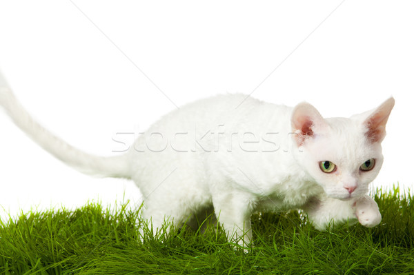 Devon Rex cat in the grass. isolatet on white. Stock photo © EwaStudio