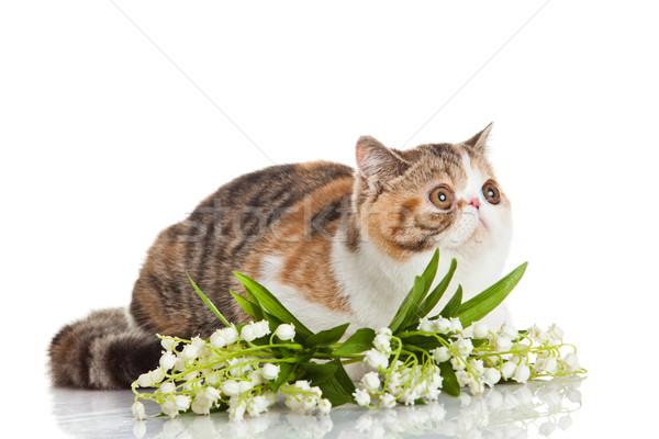Exotic shorthair cat.  Stock photo © EwaStudio