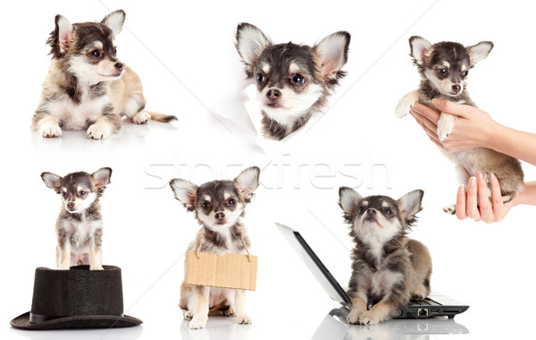 set of Chihuahua puppy.  Cute purebred chihuahua in front of whi Stock photo © EwaStudio