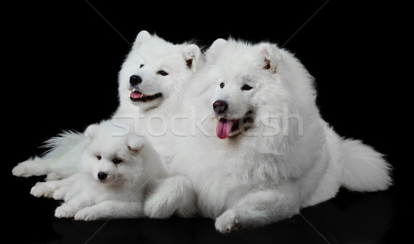 Hund Familie Augen Schönheit Gruppe Porträt Stock foto © EwaStudio