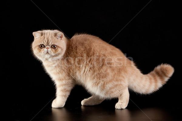 Exotic shorthair cat.  Exotic domestic cat on black background.  Stock photo © EwaStudio