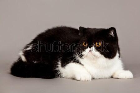экзотический короткошерстная кошки персидская кошка серый глазах Сток-фото © EwaStudio