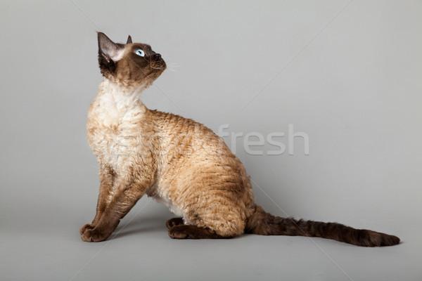 猫 グレー 肖像 白 ペット かわいい ストックフォト © EwaStudio