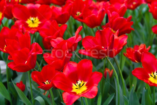 Kleurrijk tulpen mooie lentebloemen voorjaar landschap Stockfoto © EwaStudio