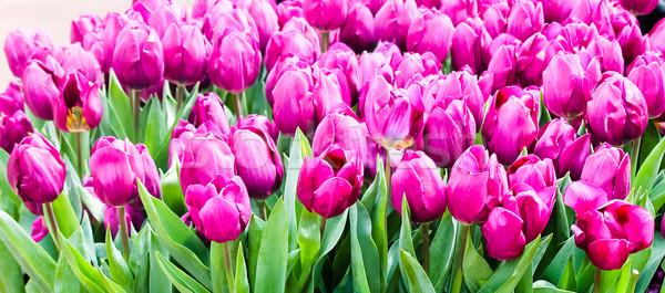 Colorido tulipas belo flores da primavera flores páscoa Foto stock © EwaStudio