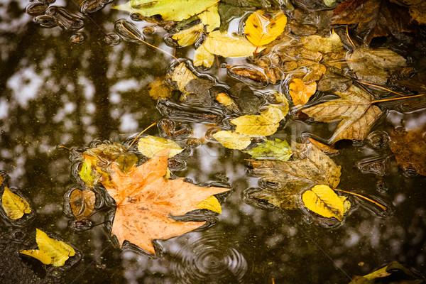 Sarı akçaağaç yaprağı yüzmek su sonbahar yaprakları yağmur Stok fotoğraf © EwaStudio