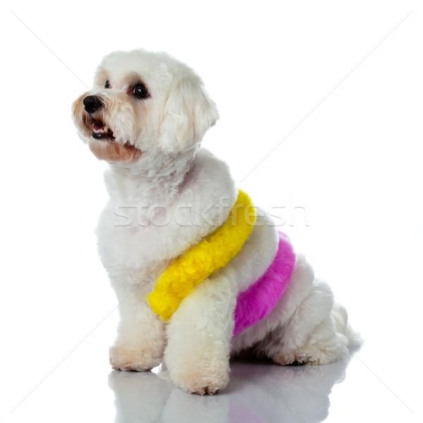 愛らしい 犬 白 髪 塗料 画家 ストックフォト © EwaStudio