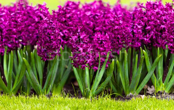 春の花 ヒヤシンス 緑 青 工場 公園 ストックフォト © EwaStudio
