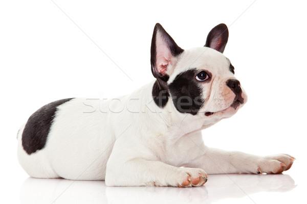 Francia bulldog kutyakölyök baba állatok vicces Stock fotó © EwaStudio