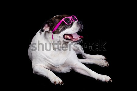 Dog with glasses on black  background. american bulldog wearing Stock photo © EwaStudio