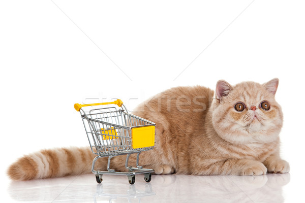Exotic shorthair cat. cat with shopping cart isolated on white Stock photo © EwaStudio