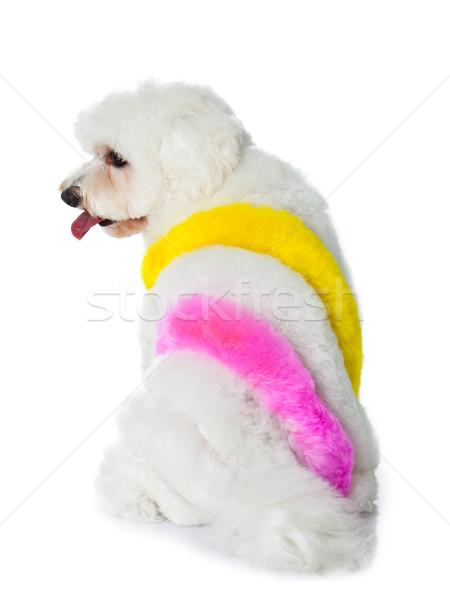 ストックフォト: 愛らしい · 犬 · 白 · 髪 · 塗料 · 画家