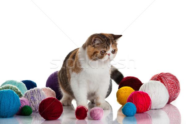 Exotischen Kurzhaar Katze Kugeln jungen Studio Stock foto © EwaStudio