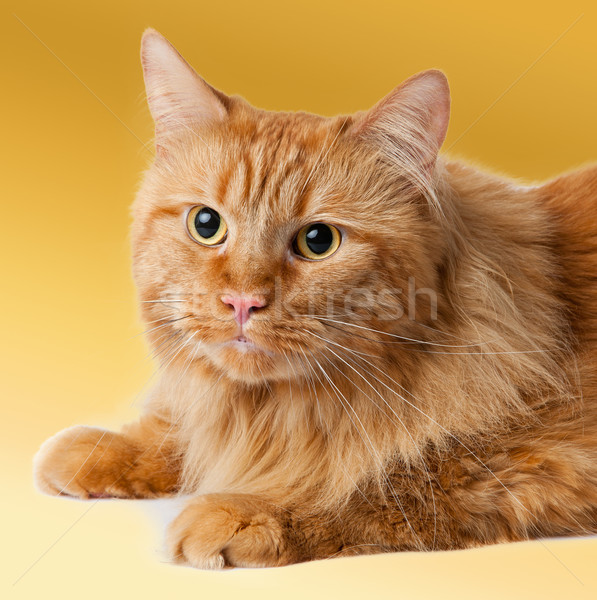 Maine Coon cat  Stock photo © EwaStudio