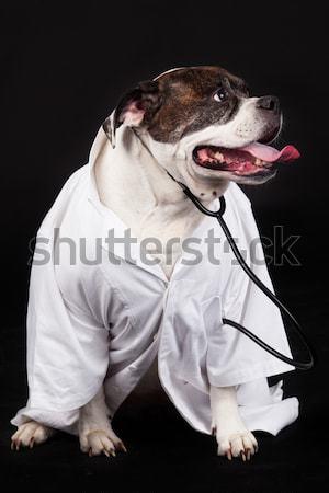 Американский бульдог собака портрет черный фон голову Сток-фото © EwaStudio