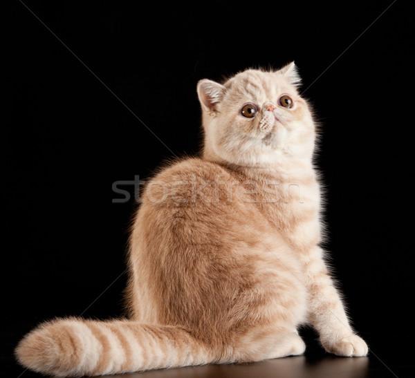 エキゾチック ショートヘア 猫 飼い猫 黒 自然 ストックフォト © EwaStudio