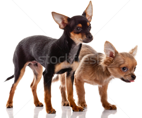 Chihuahua , 5 months old. chihuahua dog with  dice isolated on w Stock photo © EwaStudio