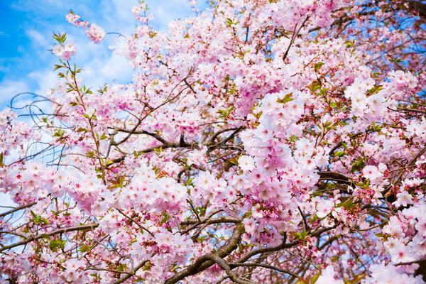 Sakura virágok virágzó gyönyörű rózsaszín cseresznyevirág Stock fotó © EwaStudio