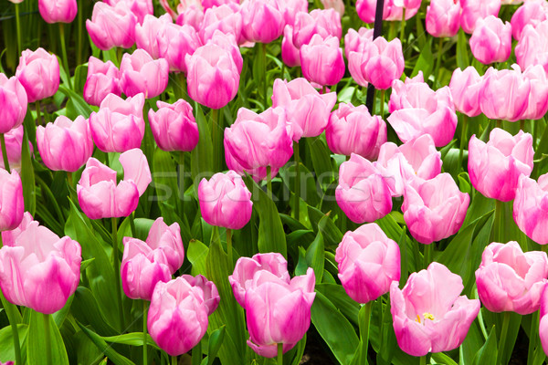красочный тюльпаны красивой весенние цветы весны пейзаж Сток-фото © EwaStudio