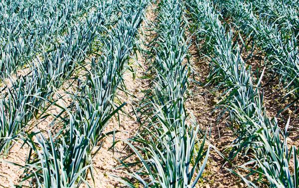 garlic plantation. Stock photo © EwaStudio