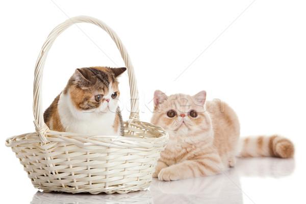 エキゾチック ショートヘア 猫 2 猫 座って ストックフォト © EwaStudio