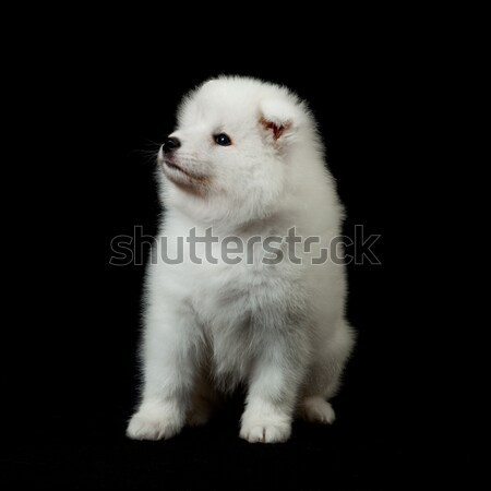 Stock photo: Samoyed dog  on black background.