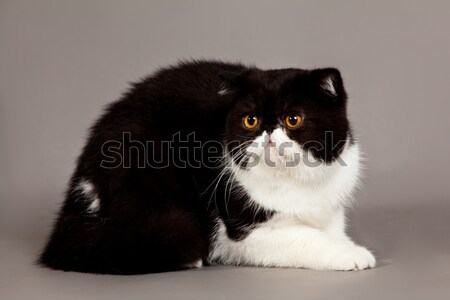 Exotischen Kurzhaar Katze Perserkatze grau Augen Stock foto © EwaStudio