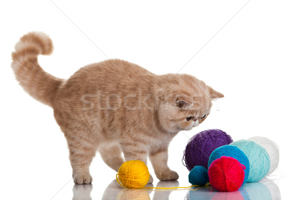 Exotic shorthair cat.  Cat with balls of threads. Stock photo © EwaStudio