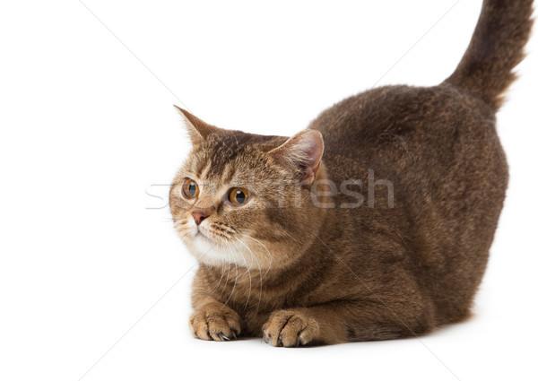 ストックフォト: 英国の · ショートヘア · 猫 · 白 · 孤立した · 自然