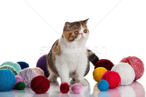 エキゾチック ショートヘア 猫 小さな スタジオ ストックフォト © EwaStudio