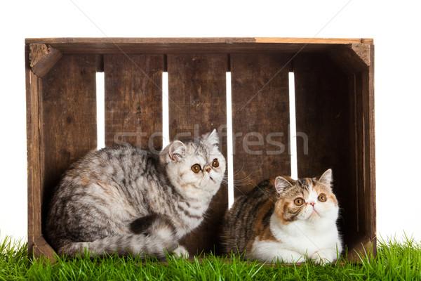エキゾチック ショートヘア 猫 美しい ボックス 木材 ストックフォト © EwaStudio