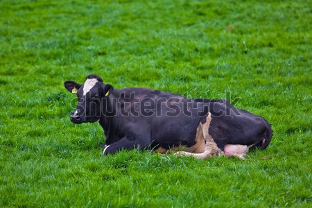 cows on meadow Stock photo © EwaStudio