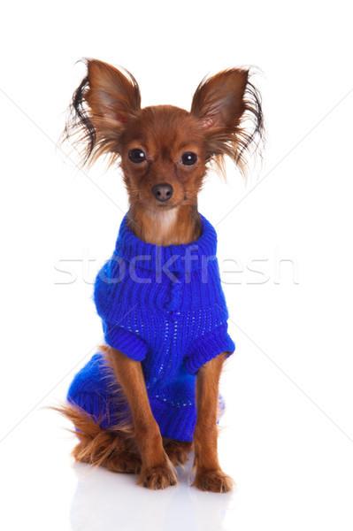 Toy terrier. Russian toy terrier on a white background. Funny li Stock photo © EwaStudio