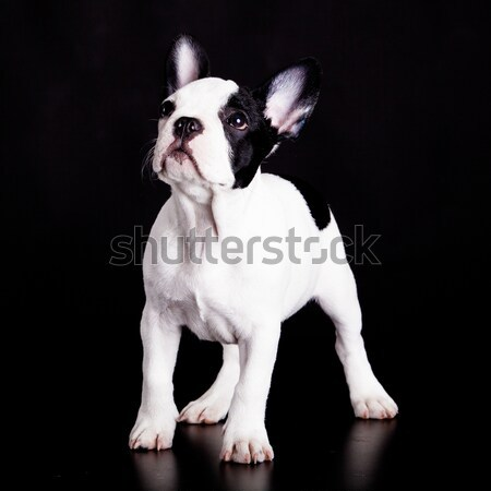 french bulldog on black background .  Stock photo © EwaStudio