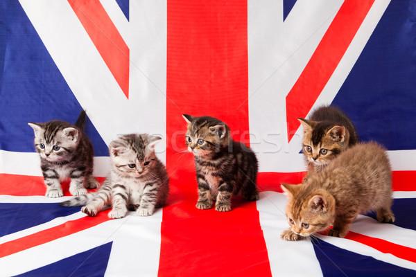 Britânico gatinhos família bebê gato Foto stock © EwaStudio