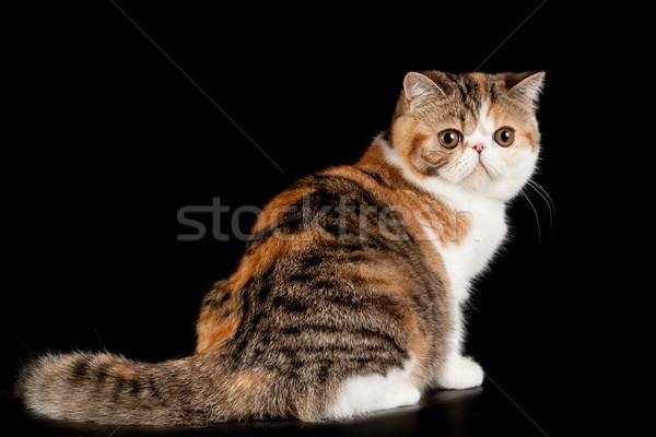 Exótico gato gato doméstico negro naturaleza Foto stock © EwaStudio