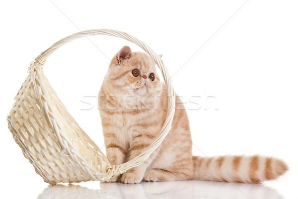 ストックフォト: エキゾチック · ショートヘア · 猫 · 愛らしい · 子猫 · バスケット