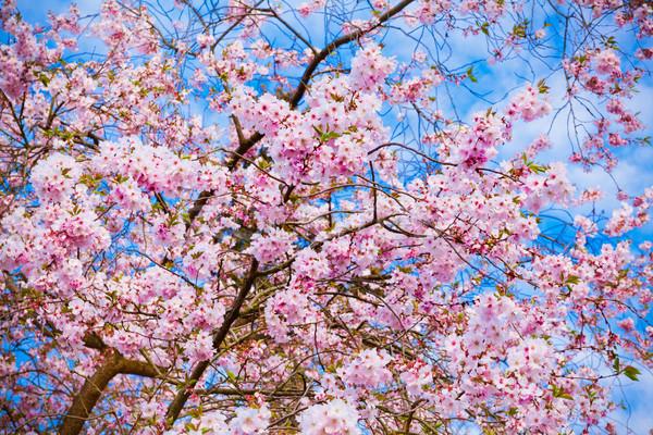 Sakura flores belo rosa flor de cereja Foto stock © EwaStudio