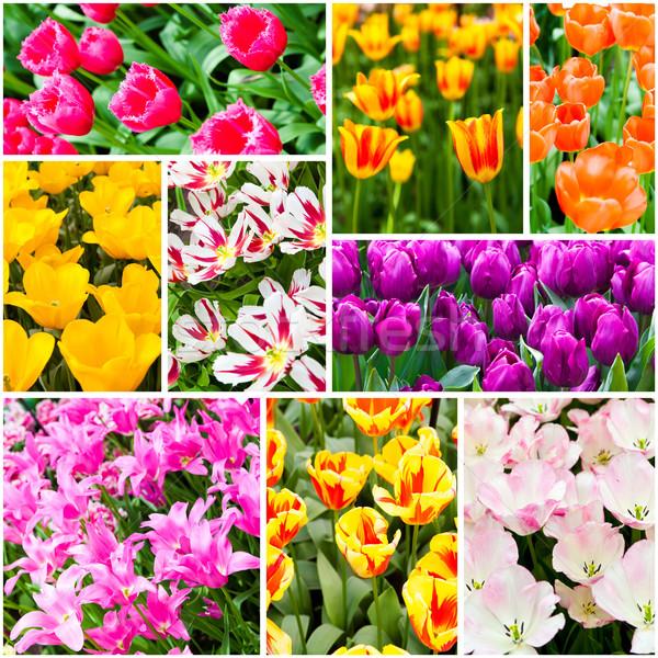 チューリップ コラージュ 春の花 自然 夏 緑 ストックフォト © EwaStudio