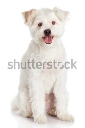 White dog on white background Stock photo © EwaStudio