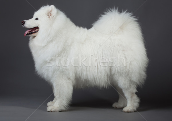 Hond schoonheid groep portret dieren witte Stockfoto © EwaStudio